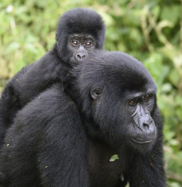 tracking the gorilla in uganda