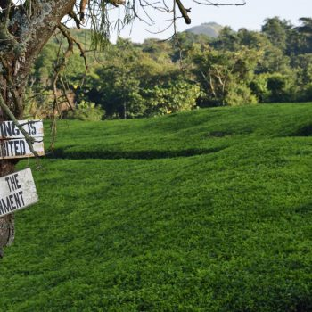 tea fields in south western uganda - © by albi
