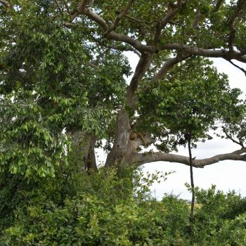 lions in the tree at queen elisabeth nationalpark in uganda