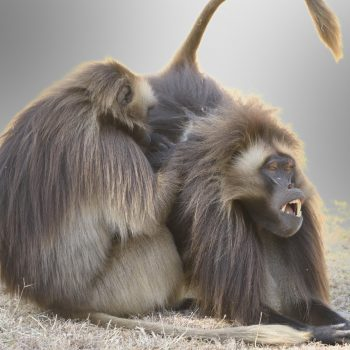 geladas at debre libanos-by pictures-by-albi