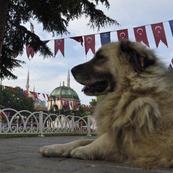 dogs are everywhere in istanbul