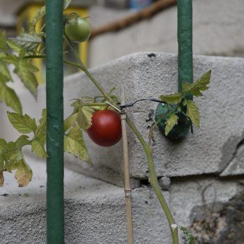 my wife has a green hand - tomatoes of paris