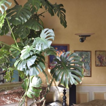 my wife has a green hand - the living room: this plant is over 35 years old (young?)