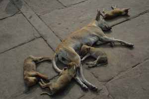 living india: still live (nature morte) with dogs